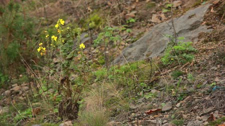 margarida : Yellow flower growing between the stones
