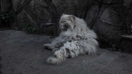 tramp : Old homeless cat on the street.