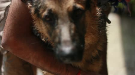 çoban : one year german shepherd male dog having a shampoo bath