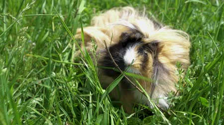 świnka morska : Guinea pig outside eating grass. Slow motion. Close up. Summertime
