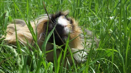 porquinho : Guinea pig outside eating grass. Slow motion. Close up. Summertime