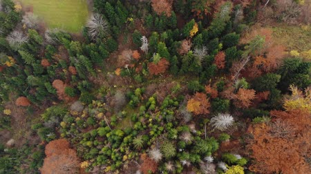 Aerial Drone Vertical Footage View: Flight over autumn colorful forest. Carpathian Mountains, Ukraine, Europe. Majestic texture. 4K