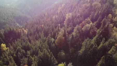 Birds eye view of beautiful green forest and yellow spruce forest. Aerial shot. Autumn sunshine day. 4K Stock mozgókép