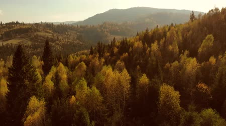 Aerial Drone View: Flight over pine tree forest and country road in sunset soft light. Mountain range in background. Nature, travel, holidays. Carpathians, Ukraine, Europe. Camera go up. 4K motion Stockvideo