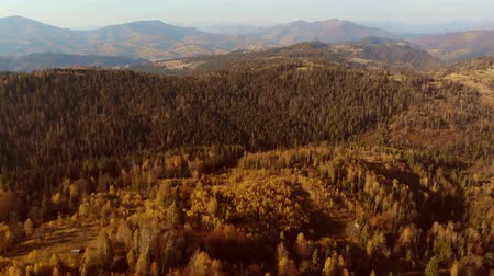 Aerial Drone View: Flight over pine tree forest and country road in sunset soft light. Mountain range in background. Nature, travel, holidays. Carpathians, Ukraine, Europe. Camera go up. 4K motion Stock mozgókép