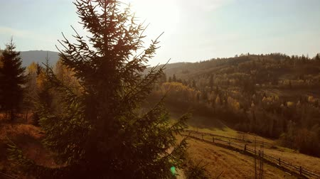 Aerial Drone View: Flight up along spruce tree in sunny day soft light. Nature, travel, holidays. Carpathians, Ukraine, Europe. 4K