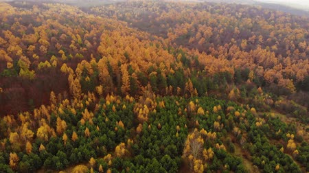 Amazing aerial birds eye view forest, trees at fall season. Red orange yellow foliage, autumn colors. Drone real time footage. Flying about deciduous red and green leaves trees. Stock mozgókép
