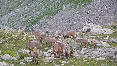 billy goat : Herd of wild goats eating grass in mountains, national park