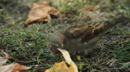 greenpeace : Close-up shot of cute sparrow jumping in city park. Birdwatching activity, hobby Stock Footage