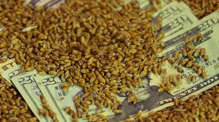lucrative : Wheat grain pouring on dollar banknotes, income from sale of agriculture product