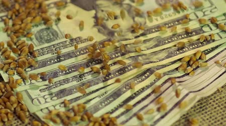 lucrative : Processed wheat grain falling on pile of US dollar cash, investment in farming Stock Footage