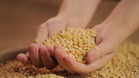 peeled grains : Female cooks hands checking peas quality, selecting organic food, healthy diet