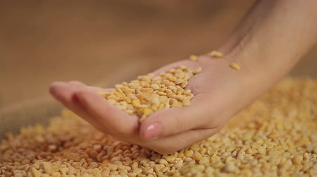 peeled grains : Dried split peas dropping in hand, high quality food product, organic farming