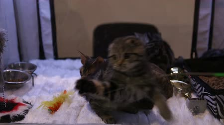 domestic short haired : Exhibition of beautiful and expensive cat breeds, kitties playing with a toy Stock Footage