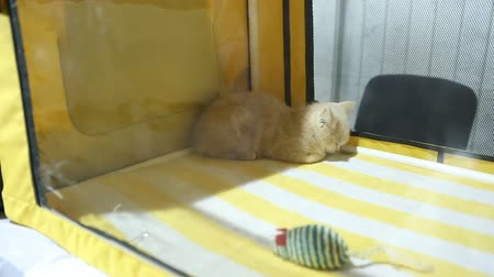 domestic short haired : Funny white kitty lying in pets house and watching people at cat exhibition