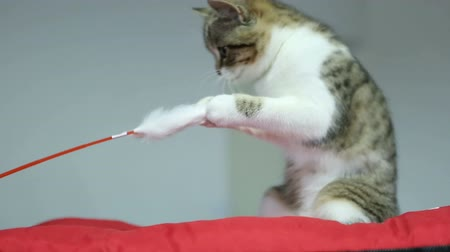 domestic short haired : Cute cat video, purebred kitten playing with pet toy at animal exhibition