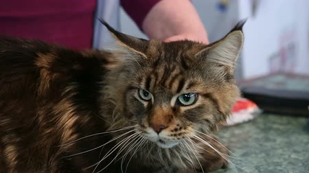 coon : Trembling Maine Coon cat lying on table in veterinary clinic, health problems
