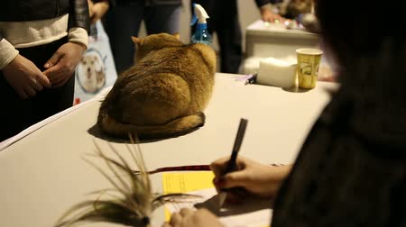 domestic short haired : Frightened purebred cat sitting on reception table in veterinary clinic