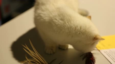 domestic short haired : Beautiful white kitten sniffing pet toy, curiously looking around at cat show