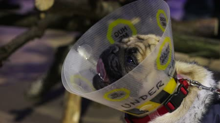 конусы : Unhealthy, sick and tired dog breathing heavily, unhappy pug wearing pet cone Стоковые видеозаписи