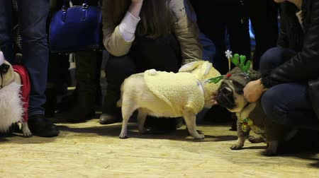 kostüm : Kind women petting cute pugs tired after performance in costumes at dog show