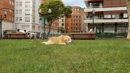 wallow : Happy doggy resting on green grass at park biting stick and watching people Stock Footage