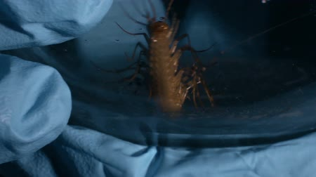 insects isolated : Hands of secret laboratory scientist holding glass with poisonous scolopendra Stock Footage