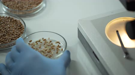 germinated : Sprouted grain in laboratory dish, raw material for production of healthy food