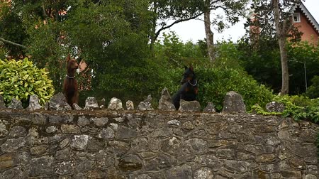 бдительный : Stone wall with two playful purebred Doberman dogs guarding luxury mansion