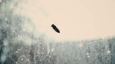 sentido : Helpless fly searching for way out from dirty glass captivity, isolated insect