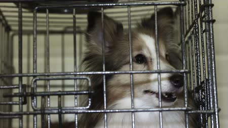 shetland : Sweet Shetland Sheepdog nervously waiting for appointment with veterinarian