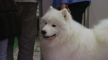 samoyed : Fluffy Samoyed dog patiently waiting for master on leash, cute domestic animal