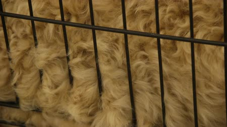 kaplanmış : Hairy animal in cage, natural sheep wool for making clothes, grooming services