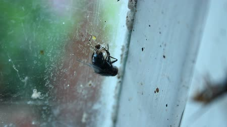 fobi : Tiny spider catching promptly fly in its web and eating to survive, food chain Stok Video