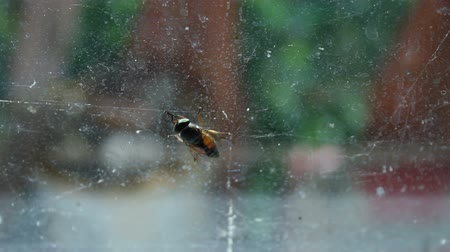 sentido : Gadfly cleaning wings and smell receptors, sitting on dirty window of old house