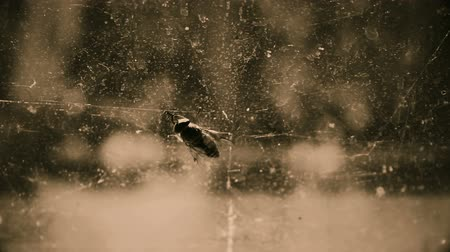 sentido : Ugly gadfly rubbing its forelegs on dirty window glass, disease infected insect