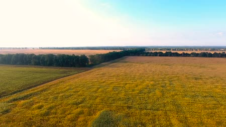balanced : Golden fields outspreading far into distance separated by lines of tree-planting