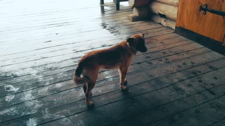 cheerless : Homeless dog standing on wooden porch on rainy day, looking around, loneliness