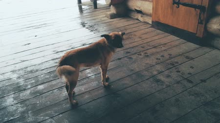 cheerless : Stray dog standing on wooden porch on rainy day, abandoned homeless animals