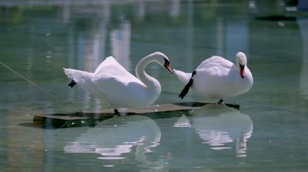 bird sanctuary : Swan couple cleaning feathers in sanctuary, reflection in water, sequence