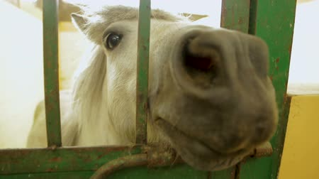 cheirando : Stroking horse in cage, white pony looking at camera, keep animal in captivity