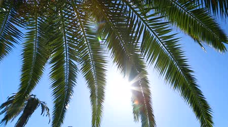 palmtree : Palm tree leaves shown against sun and blue clear sky, vacation by seacoast Stock Footage
