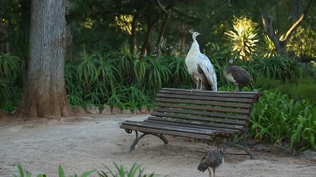 bird sanctuary : Pheasants walking on ground and sitting on bench in park, tourist attraction Stock Footage