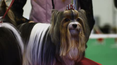 trained : Two long-haired Yorkshire Terriers waiting for pet exhibition, owner combing fur Stock Footage