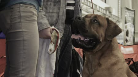 saygı : Female owner feeding beautiful trained Mastiff dog at pet exhibition, obedience Stok Video