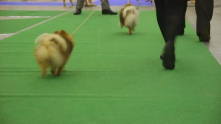 trained : Tiny cute Pomeranians walking with owners at dog exhibition, pet training