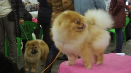 itaat : Pretty fluffy Pomeranian waiting for veterinarian examination, health care Stok Video