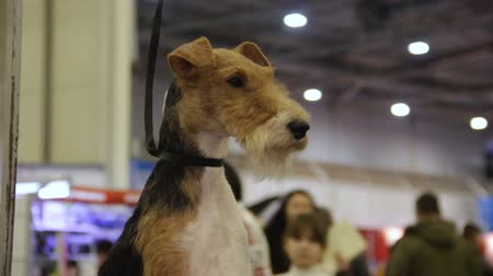 послушный : Welsh Terrier sitting at hall and looking around, dog exhibition