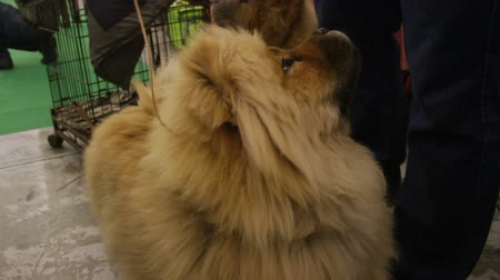 rozmazaný : Nice Chow Chow dog waiting for treats and looking at owner, fluffy purebred pet