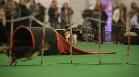 trained : Dog agility competition, small pet running and performing tricks at show